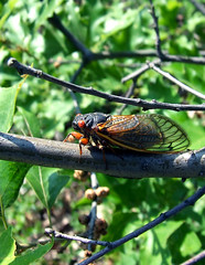 Cicada on the powerline right-of-way