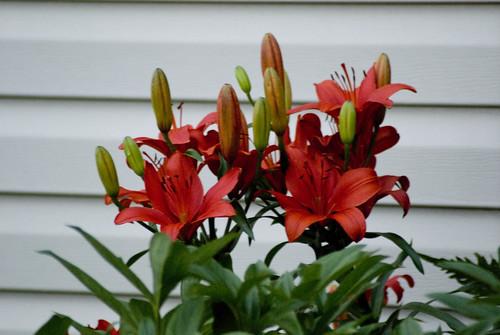 lilies outside