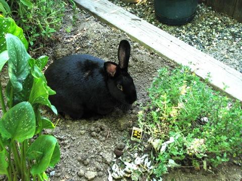 Black Bunny.JPG