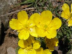 Ranunculus ollissiponensis 1