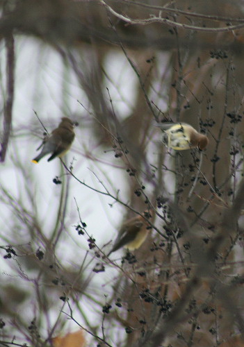Cedar Waxwings on buckthorn