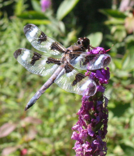 Twelve-spotted Skimmer on Purple Loosestrife