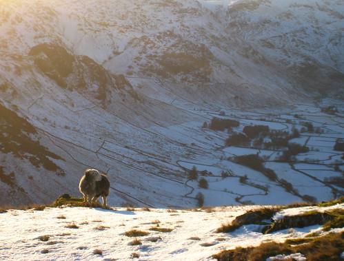 Sheep over Langdale