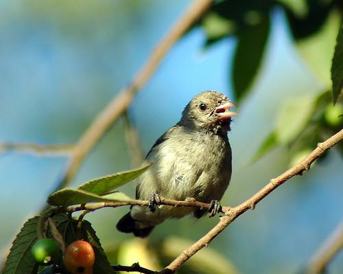 Tickell's Flowerpecker by sumank, on Flickr