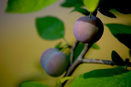 Damson Plums, ripening