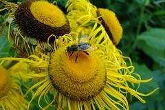 Abelha no girassol / Bee at sunflower