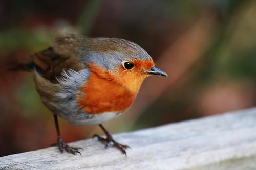 Plucky robin moves closer