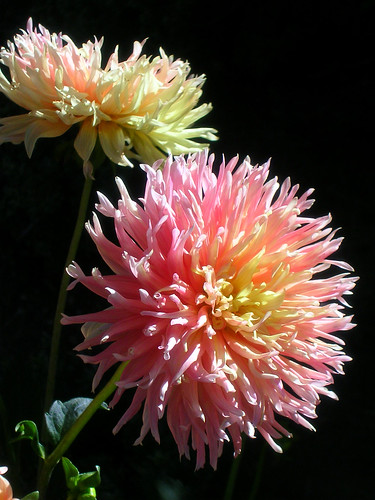 2-Show'n-Tell-Dahlias
