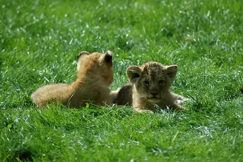 Löwenjunge in La Bourbansais