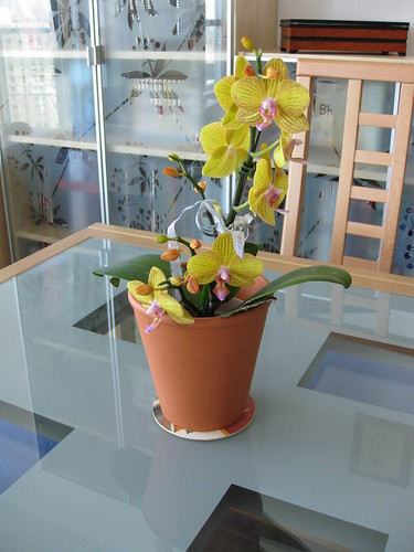 My Phalaenopsis