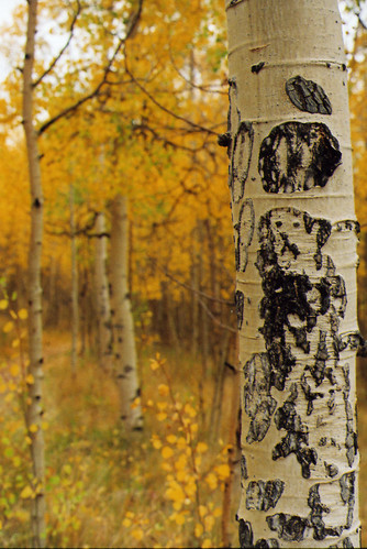 Kenosha Pass, Trees, Trunks and Leaves