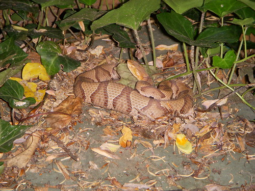 Definitely a Copperhead
