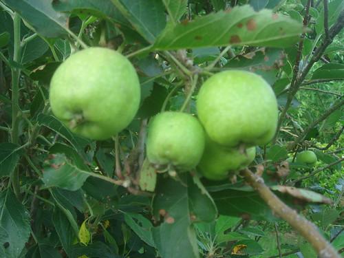青蘋果_1