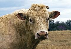 Bull !