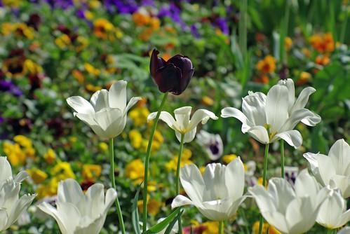 white, tulip, flower, istanbul, tulip celebration, urban