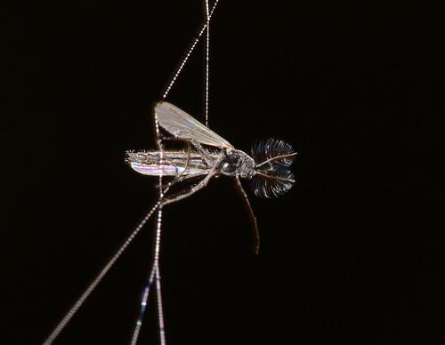 Midge in a cobweb