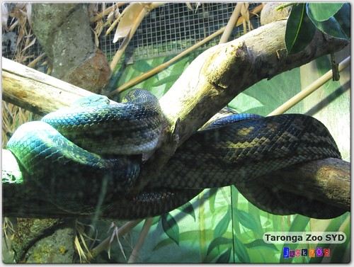Taronga Zoo - Anaconda