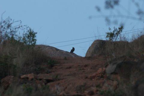 Terrible pic of Eurasian Eagle Owl Turahalli 090308