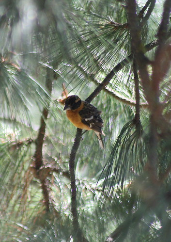 blackheaded grosbeak
