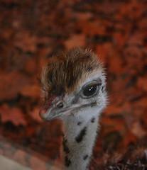 Baby Ostrich 4