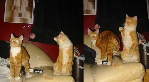 20081120 - Cats Vs. bubbles - 172-7230 - Lemonjello, Oranjello - on couch - diptych - 172-7228