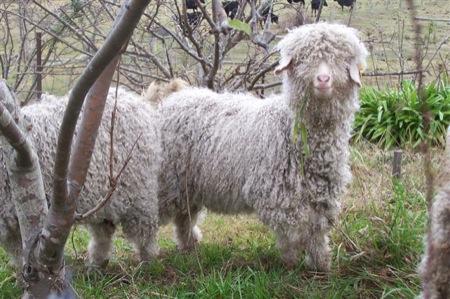 goats 003