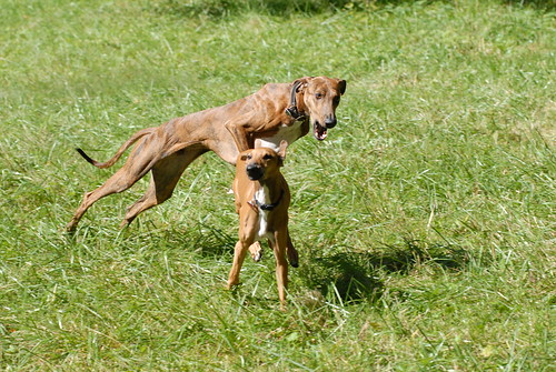 Sub-adult Azawakh play-chasing an Azawakh puppy.