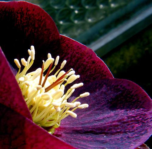 Dark Purple Helleborus