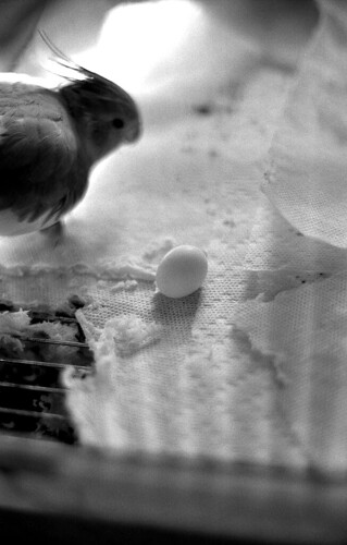 Cockatiel and Egg. (Kodak Tri-X. Nikon F100. Epson V500.)