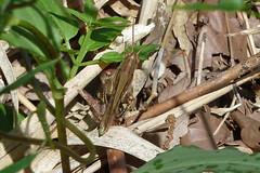 新治市民の森のツチイナゴ(Locust, Niiharu Community Woods, Yokohama, Kanagawa, Japan, 2011)