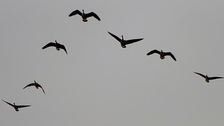 Geese in Flight 03011406956