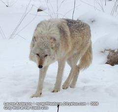 Gray Wolf I