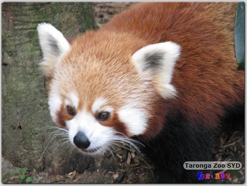 Taronga Zoo - Red Panda