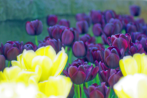 yellow tulips and purple tulips, istanbul tulip festival, istanbul, pentax k10d