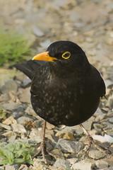 A nice live blackbird