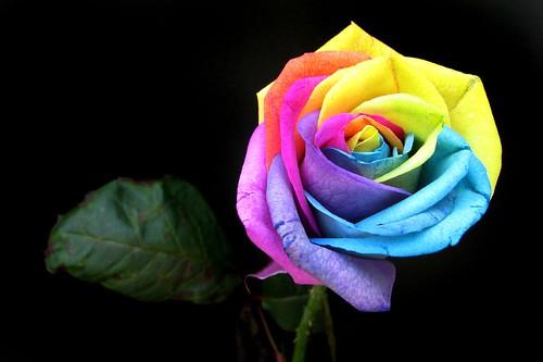 spectrum rose