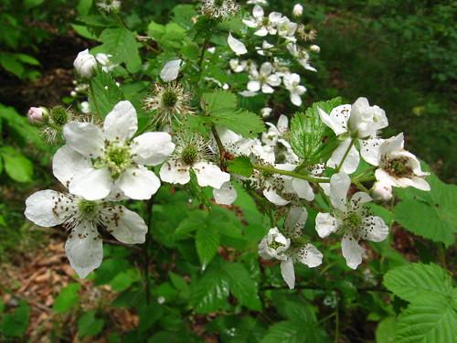 bramble blossoms3