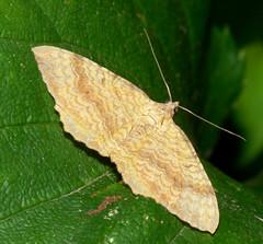 Yellow Shell moth (camptogramma bilineata)
