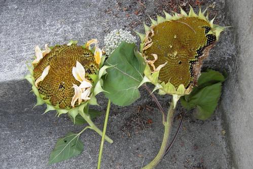 Decapitated sunflower heads