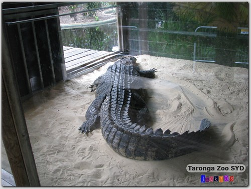 Taronga Zoo - Saltwater Crocodile