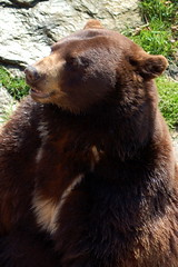 Kodiak, a cinnamon-colored black bear