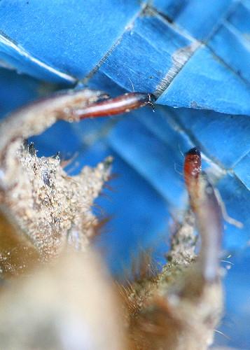 cicada16