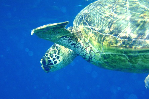 Turtle diving