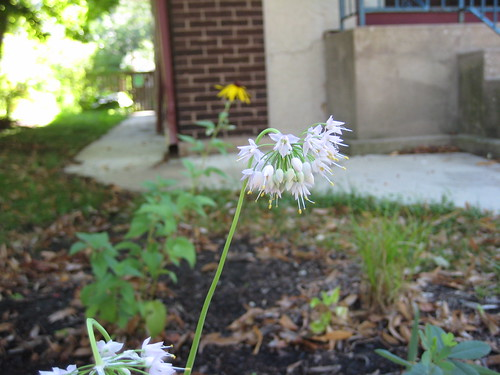 Rain garden nodding onion
