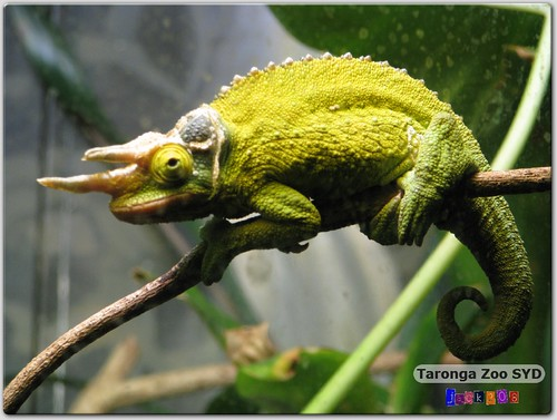Taronga Zoo - Jackson's Three-Horned Chameleon