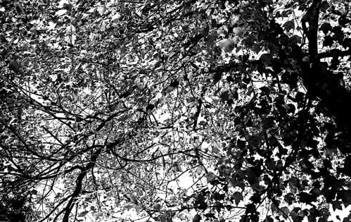 Maple Tree in Fall. (Kodak Tri-X. Nikon F100. Epson V500.)