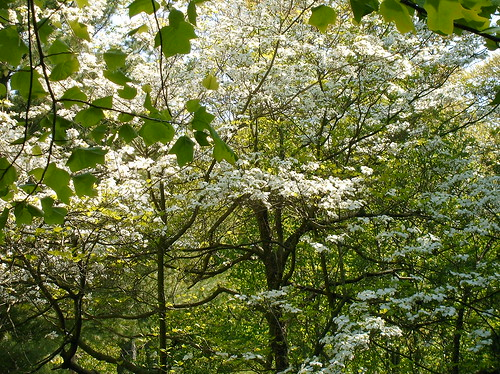 Dogwood Trees Near Nature Center, Rum Village