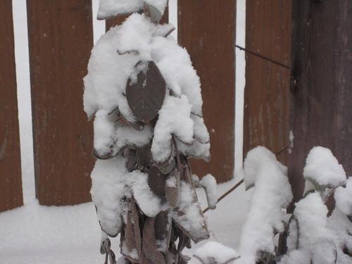 Sage in snow