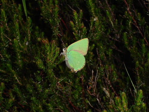 green hairstreak_HCP_20050527_02.JPG