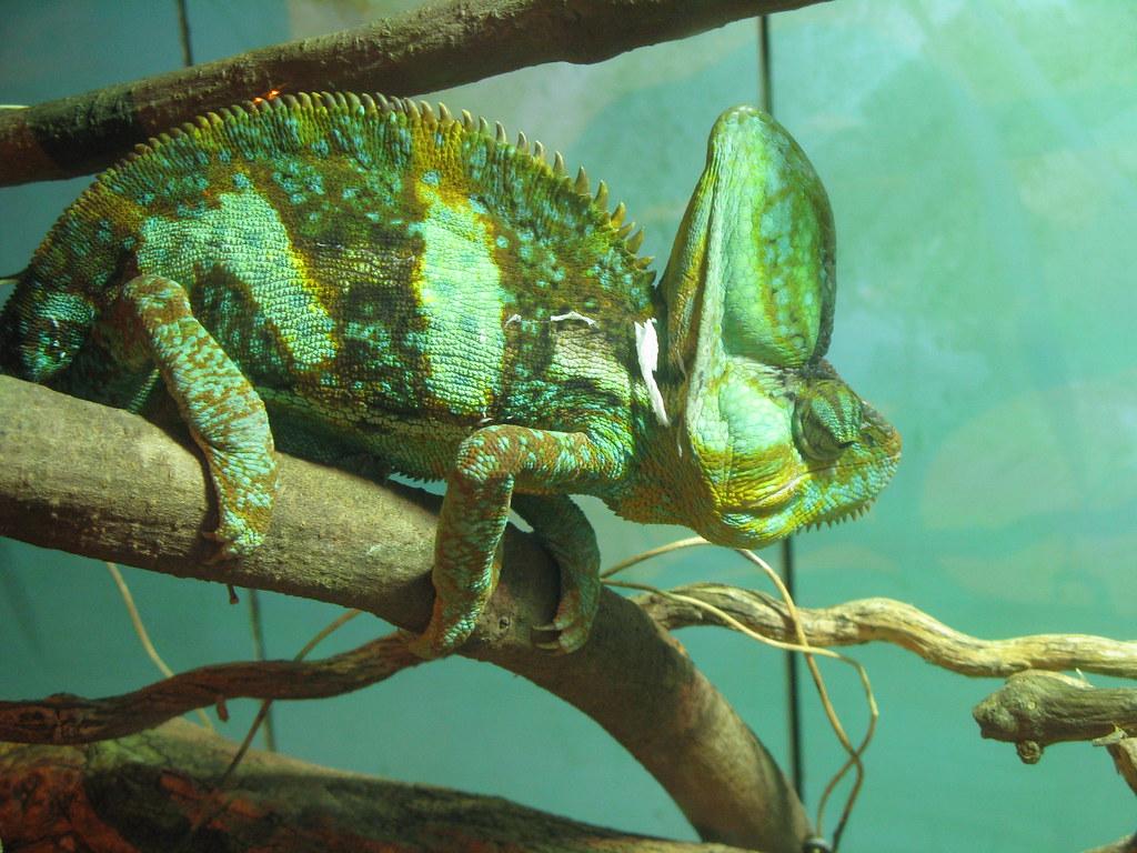 Caméléon - Chameleon by charlotteinaustralia, on Flickr